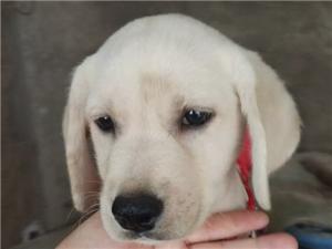 哈士奇幼犬/拉布拉多幼犬