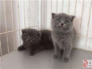 出售幼猫,纯血统,保健康,价美丽。