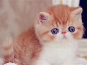 自家貓店出售英短美短 金吉拉 加菲布偶