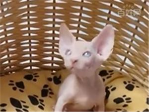 洛陽高品質無毛貓找家長 健康漂亮繁育用首選