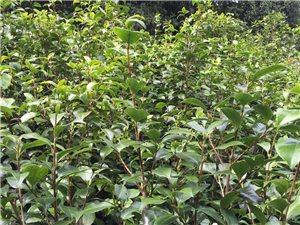 优质茶花苗木销售