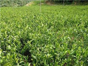 长阳磨市柑桔专业合作社大量供应各类柑桔品种苗木及接穗