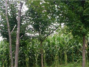 售各种绿化树品种