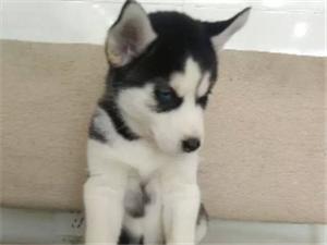 活波健康帥氣的三把火藍眼睛哈士奇幼犬 品質保證