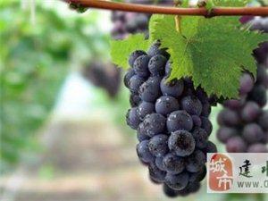建水葡萄2月到5月大量上市,欢迎大家来品尝。