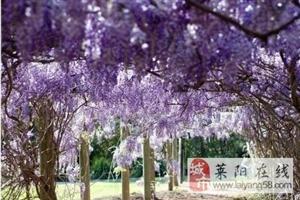 14年树龄日本多花紫藤树数颗