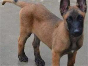 洛陽本地直銷,純種【馬犬】出售——健康保證