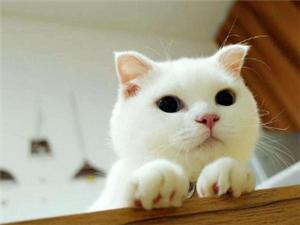 洛陽貓舍繁育短毛貓