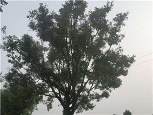 常年收购绿化树苗木