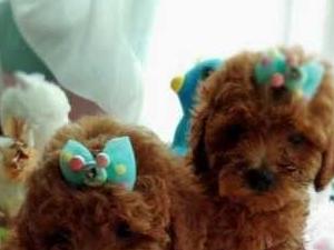 便宜出售家養泰迪犬兩只公