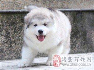 烟灰色阿拉斯加犬出售