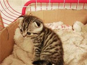 虎斑美短找新家