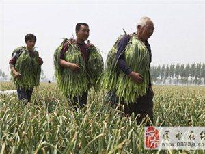 建水蒜薹含有丰富的纤维素大量上市
