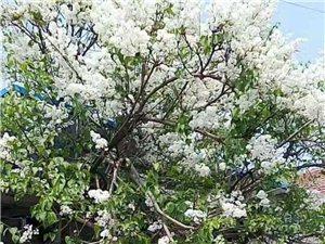 80年白丁香树出售