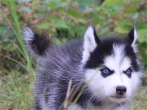 洛陽出售純種哈士奇三火雙藍眼哈士奇幼犬