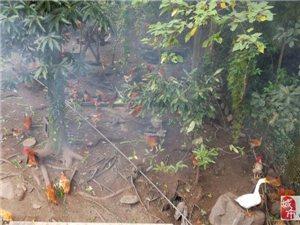 长阳津洋口合子坳村胡先生家中有一批纯正散养土鸡出售