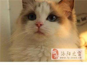 雙血統精品 布偶貓 咪幼崽布偶 可以送貨上門