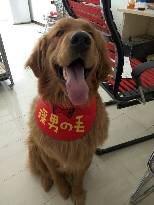 愛犬丟失,急尋,金毛。