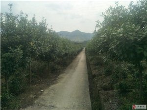 桂花樹、紫微樹出售   基地整體轉讓