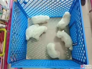 出售比熊幼犬,哈士奇,雪�{瑞