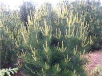 1米白皮松价格-陕西大易园林苗木基地