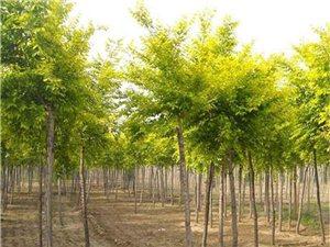 山東金葉復葉槭種植基地大量供應金葉復葉槭樹苗