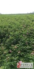 大量供给四季玫瑰   紫叶矮