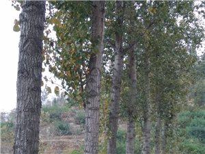 100棵杨树初长成,求带走