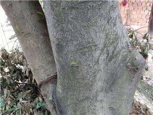 特價出售兩棵大榕樹