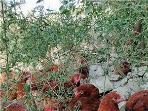 賣大公雞,散養6個月,個大好吃