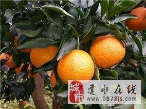 正宗云南省紅河州建水鈕荷爾臍橙熱賣了