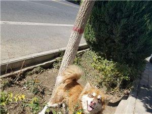 金塔县城阿拉斯加犬便宜处理卖给喜欢狗的朋友,没地养
