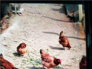 长期出售山养纯粮食土鸡,土鸡蛋