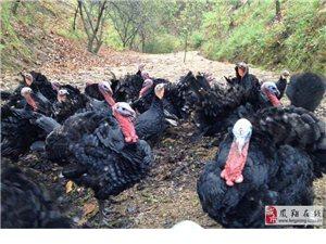 散养土鸡、土鸡蛋、黑乌鸡、火鸡等出售,另有大量鸡粪出售