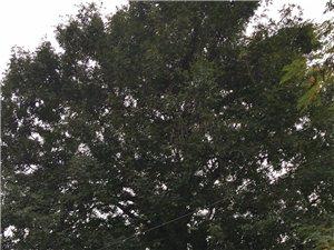 出售皂角树,直径40公分,树龄30年