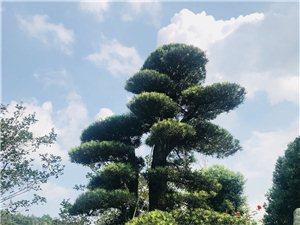 台州临海供应罗汉松、香樟、金桔,胡柚,红豆杉,竹柏