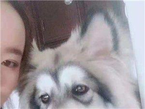 """寻狗启示:爱犬""""阿拉斯加""""丢失,有重谢!"""