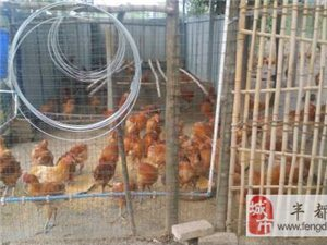 散养粮食鸡