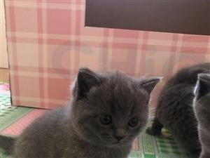 自家繁殖純種英短藍貓