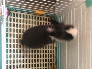 2只侏儒猫猫兔