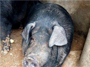 自家魚溏邊上養的煙臺黑大肥豬,養了4年了,現在體重