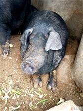 自家鱼溏边上养的烟台黑大肥猪,养了4年了,现在体重