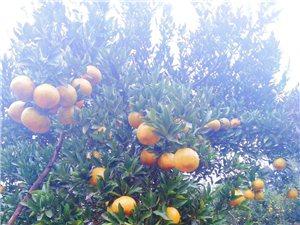 眉山青神柑桔只有1.5元一斤