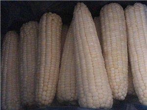 高泰食品厂家直销速冻玉米棒。特等送货上门