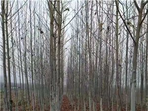 优质法桐树出售