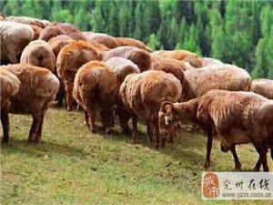 祖國大西北草原羊羊肉來了!!!