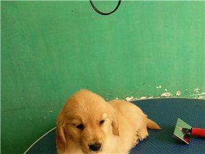 CKU�p血�y金毛幼犬出售��芯片出生�可�k理血�y�C��