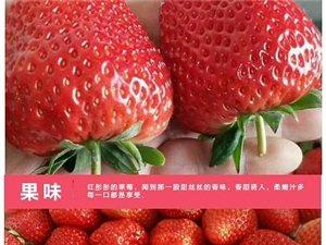 香戀果業 丹東九九草莓(牛奶草莓)3斤150元 產