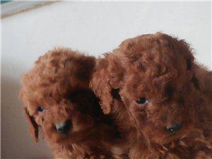 【出售�M月泰迪狗】��17657320668�c微信同�