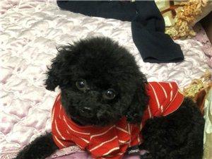 寻狗启示:黑色泰迪公狗叫米修
